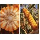 Seminţe Porumb LG 31.401