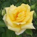 Trandafir Landora