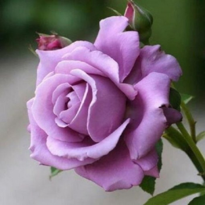 Trandafir Mov Sissi