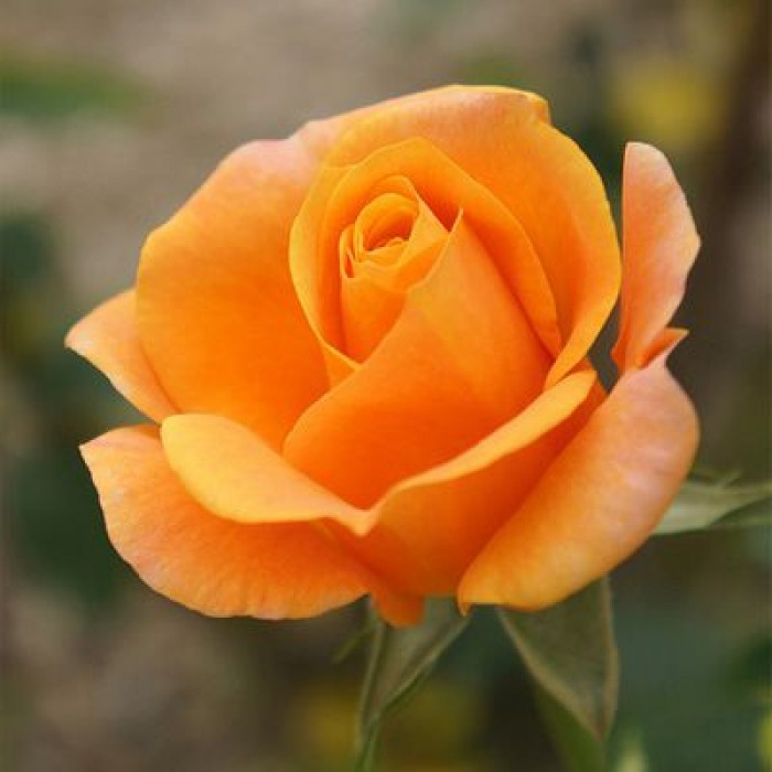Trandafir Remy Martin