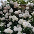 Trandafir Urcător Alb