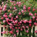 Trandafir Urcător Roz
