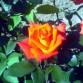 Trandafir Monika Manaknom