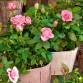 Trandafir Pitic