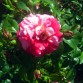 Trandafir Twist