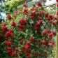 Trandafir Urcător