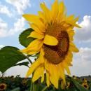 Seminţe Floarea Soarelui - RUSTICA 172